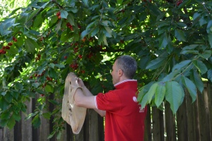 We had a pretty quiet day hanging out and playing in the garden.  Papi did a first pick of our cherry crop.