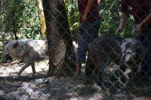 6 Grey wolves