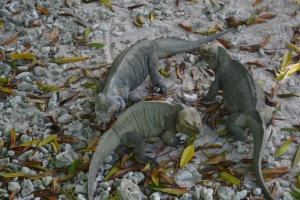 The ducks' loss was the iguanas' gain.