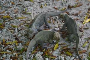 The ducks' loss was the iguanas' gain.